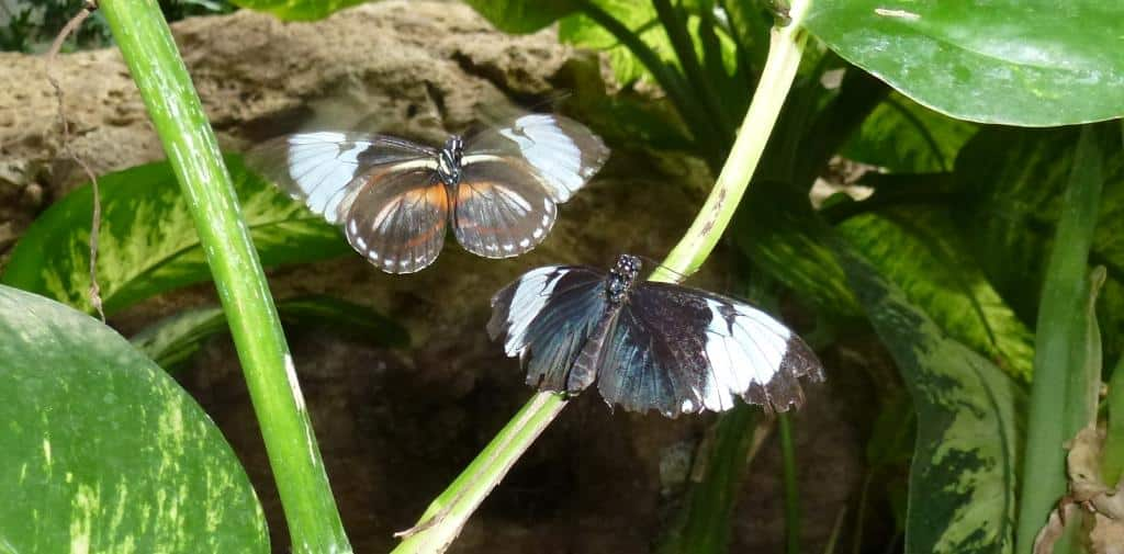 longwing butterflies courtship small