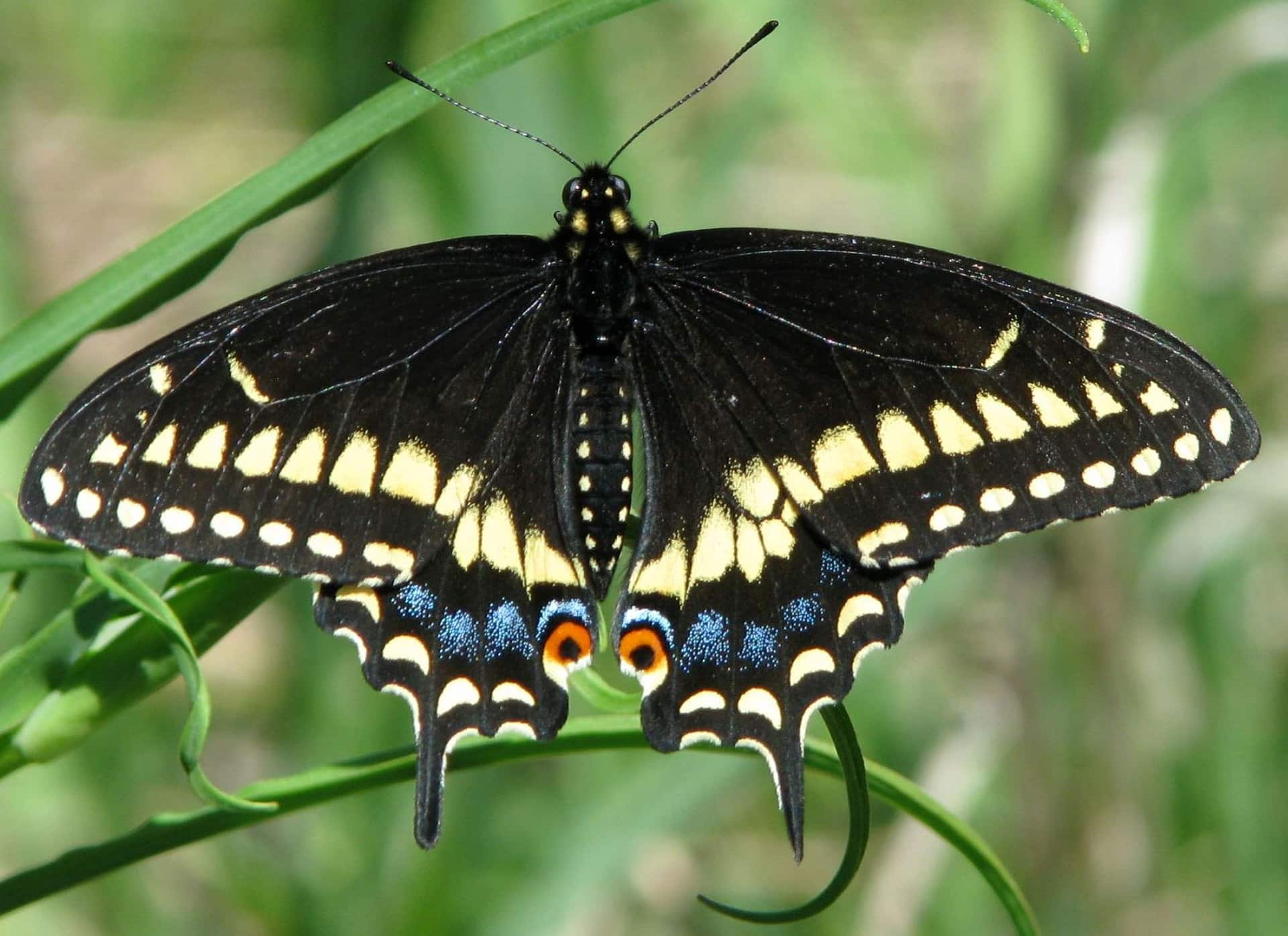 eastern black swallowtail public domain pixabay