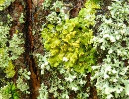 sunburst lichen 200x260