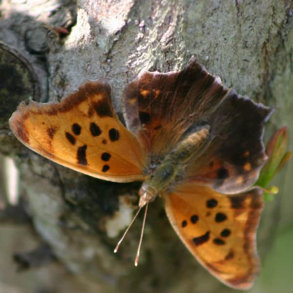 eastern comma butterfly summer form