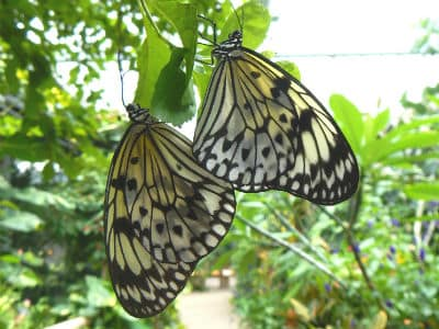 mating rice paper butterflies 400x300