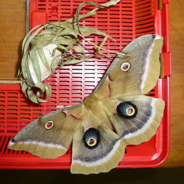 polyphemus moth and cocoon